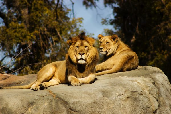 Lions at Zoo