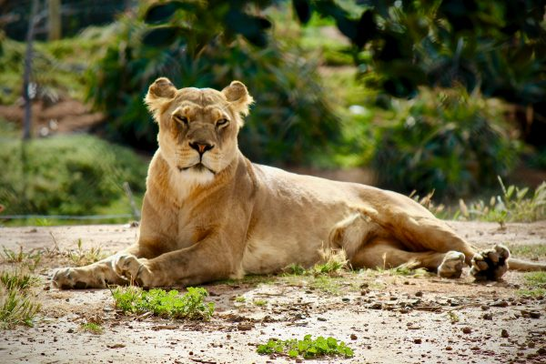 African Lion in Zoo